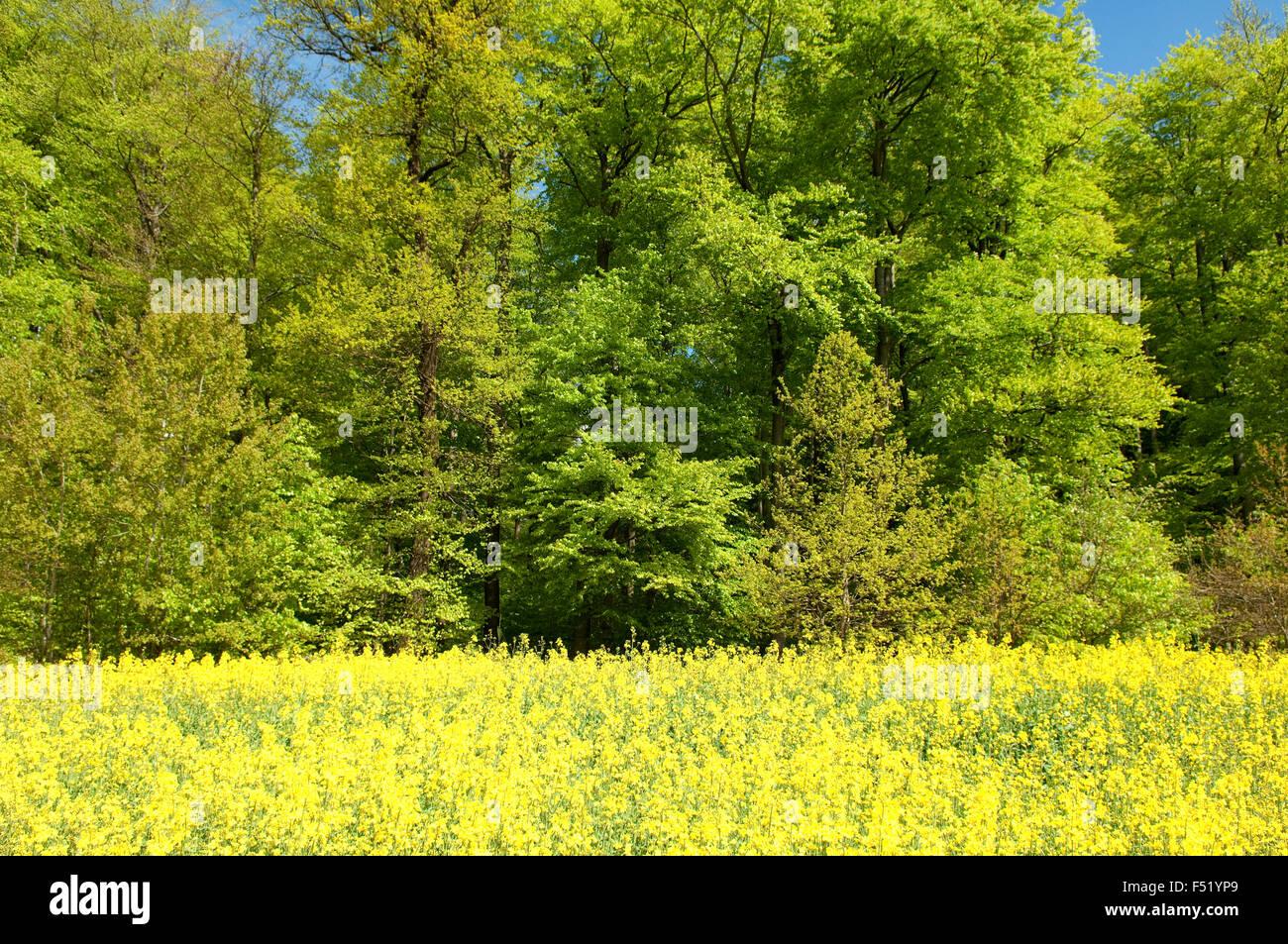 Buchenwald, Wald, Fruehjahr Stock Photo