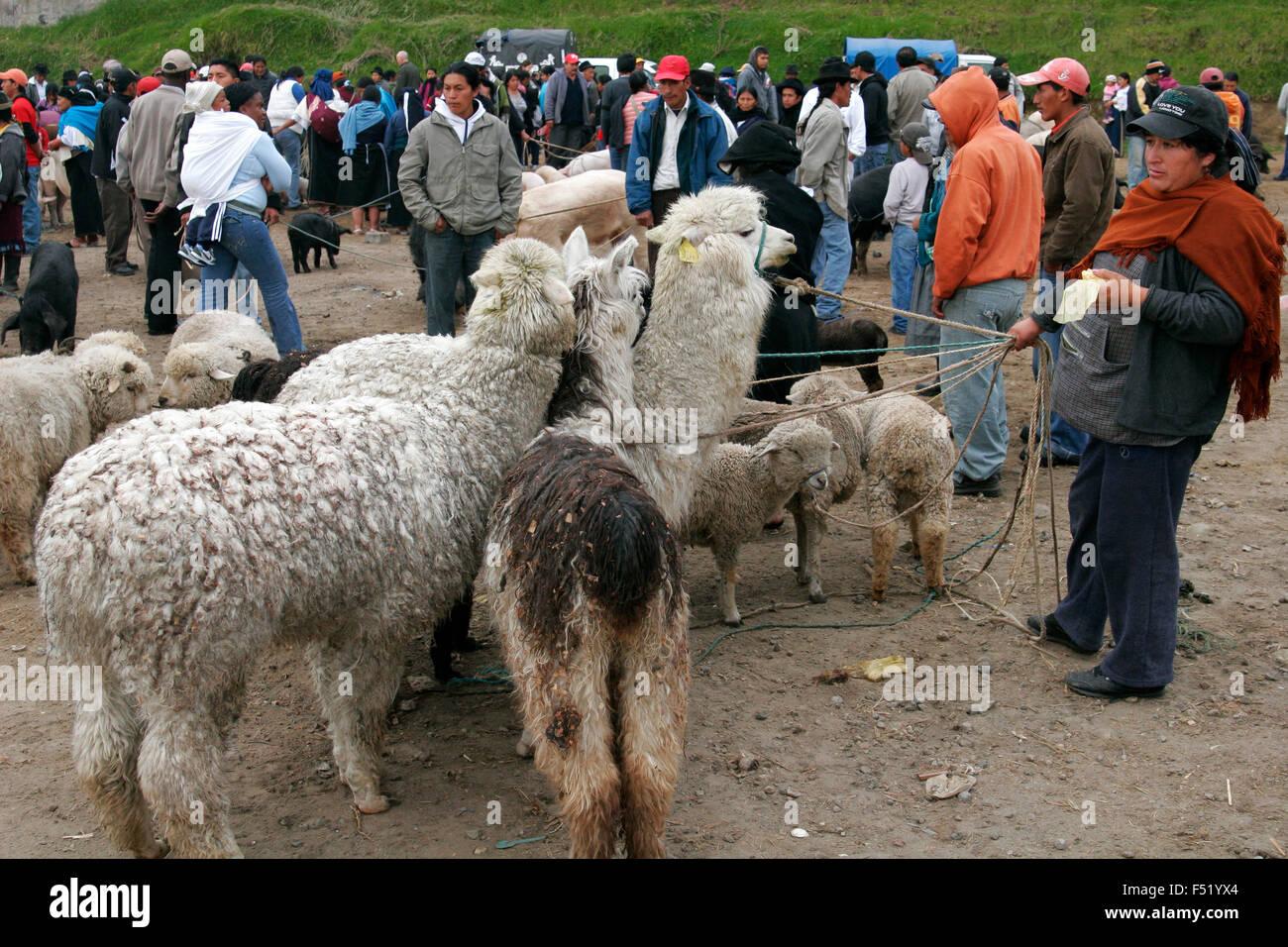 Llamas on sale at Otavalo market, Ecuador, South America - Stock Image