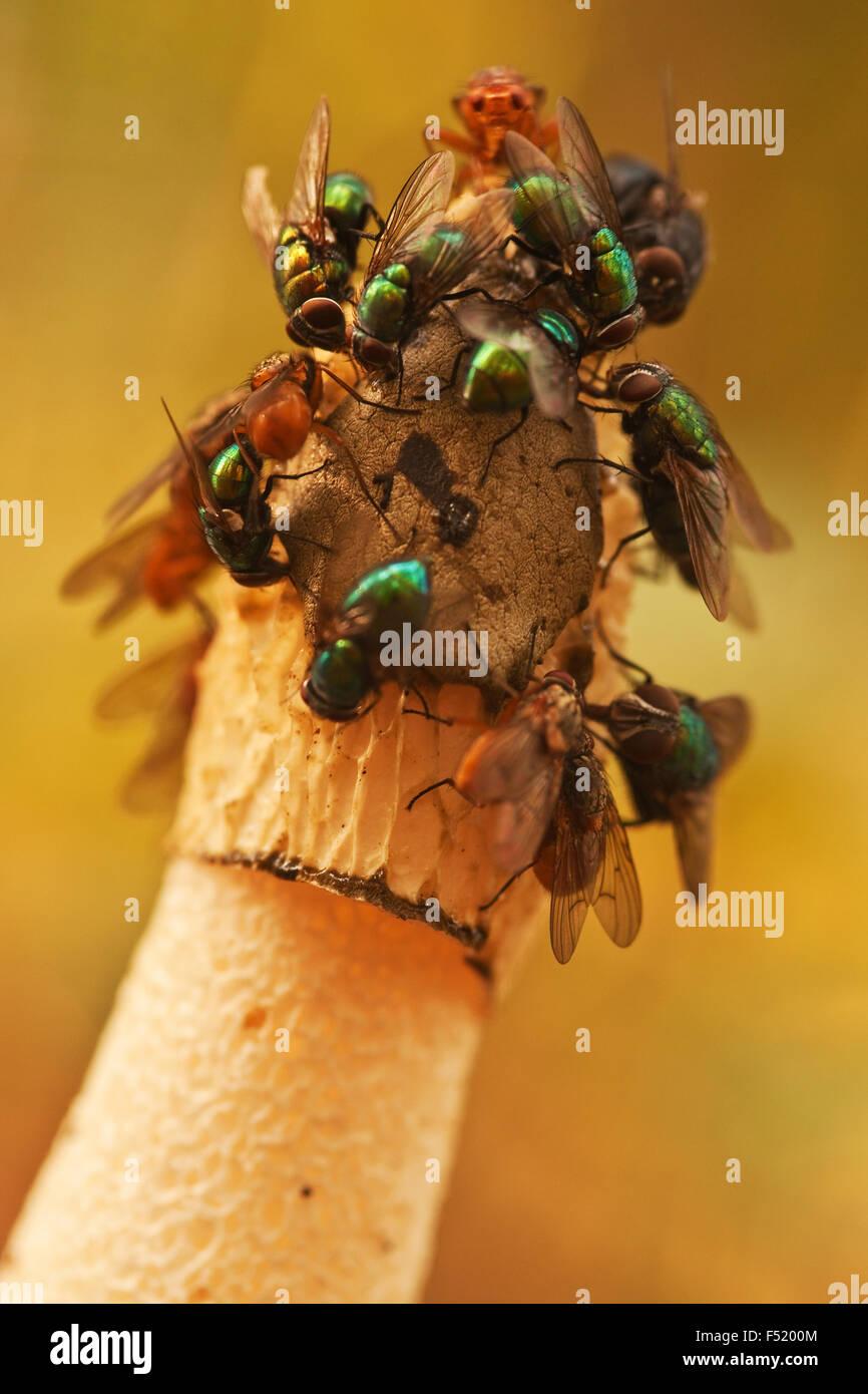 Stinkmorchel mit Schmeißfliegen, - Stock Image