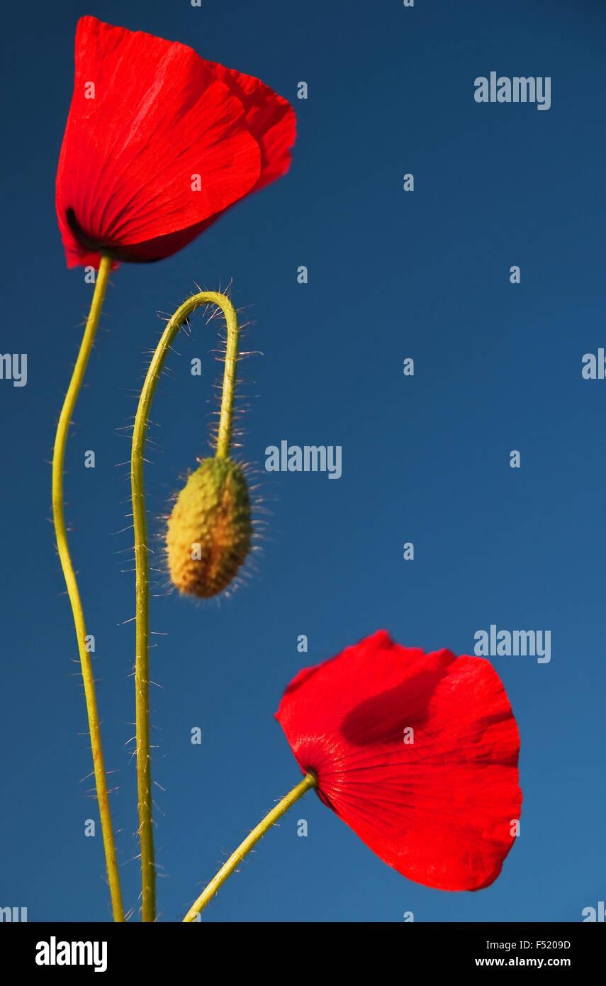 Mohnblumenblüten, - Stock Image