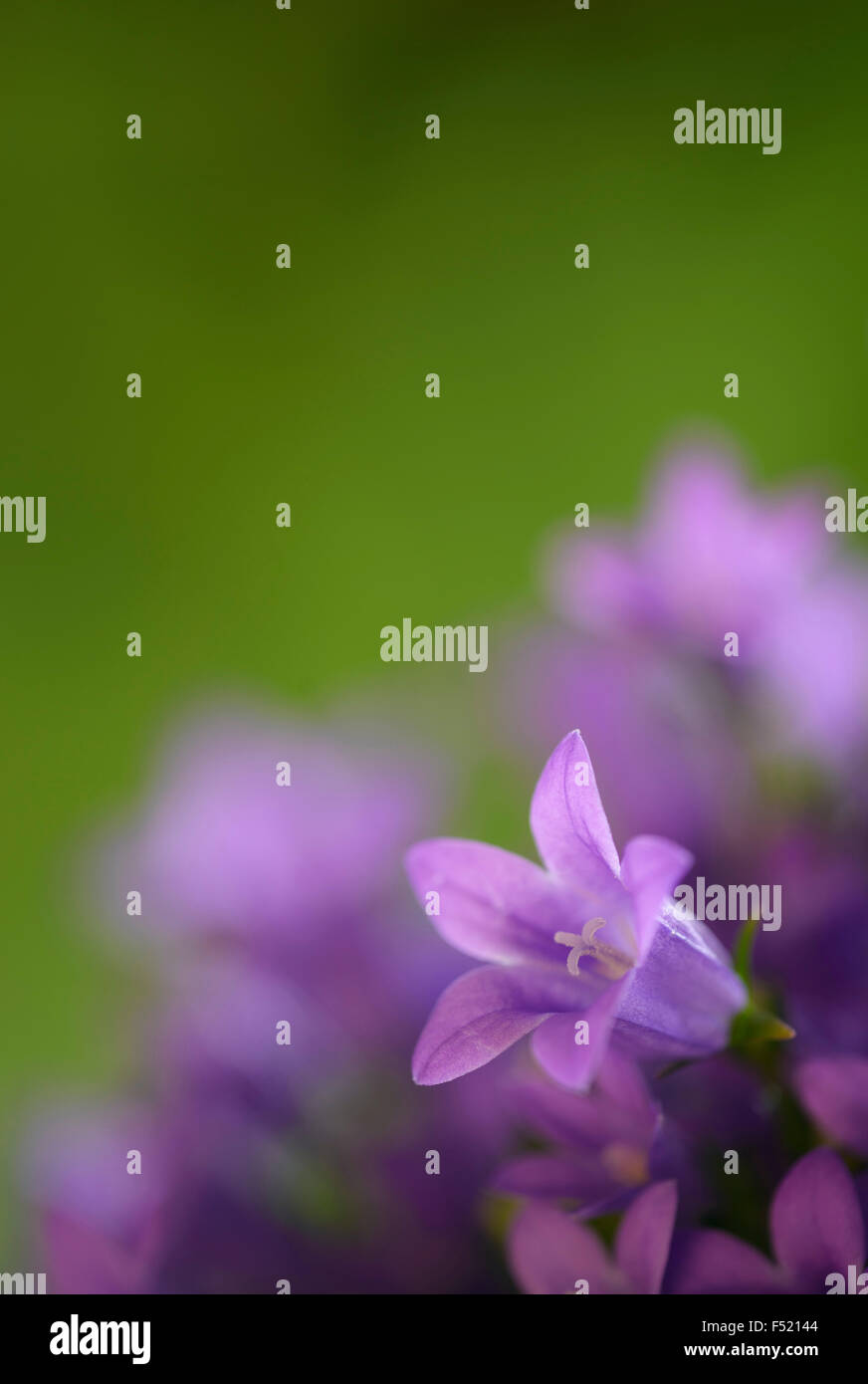 Glockenblume, Campanula, Kulturform, - Stock Image