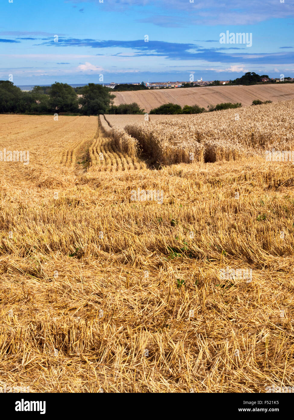 Partly Harvested Wheat Field near Warkworth Northumberland England - Stock Image