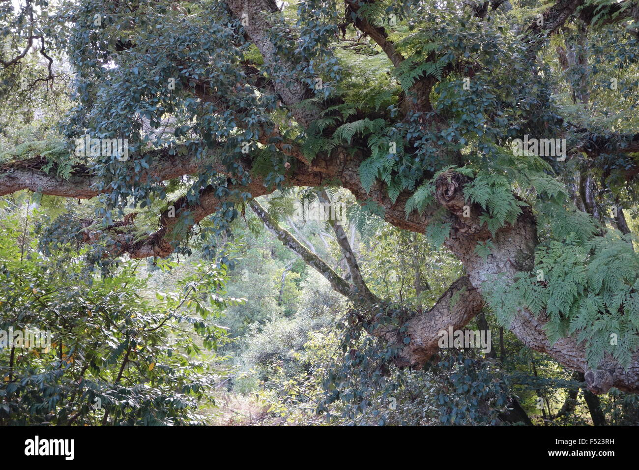 Montserrate Sintra Portugal cork oak with fern growth and dense foliage - Stock Image