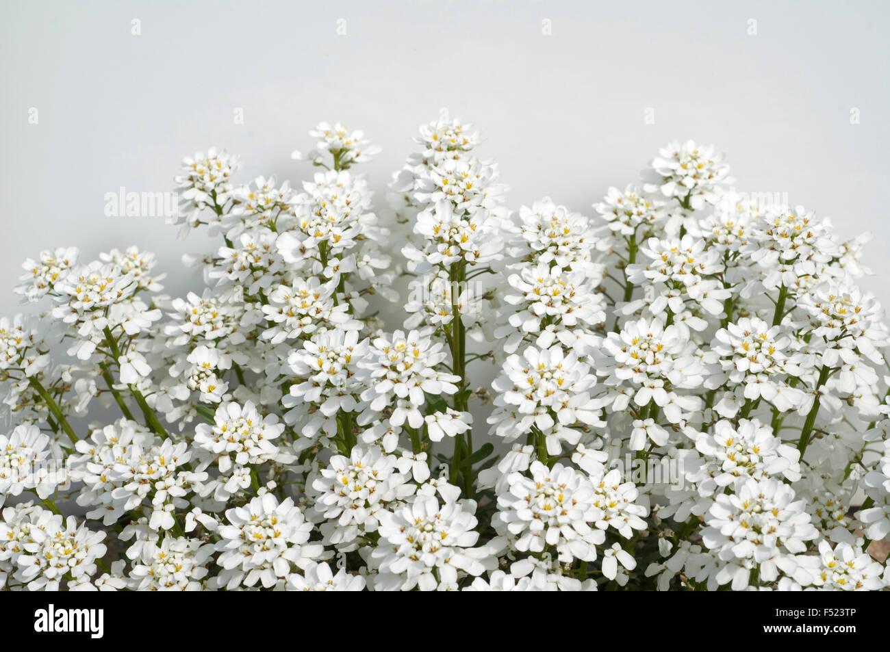 Schleifenblume, Iberis, sempervierens, - Stock Image