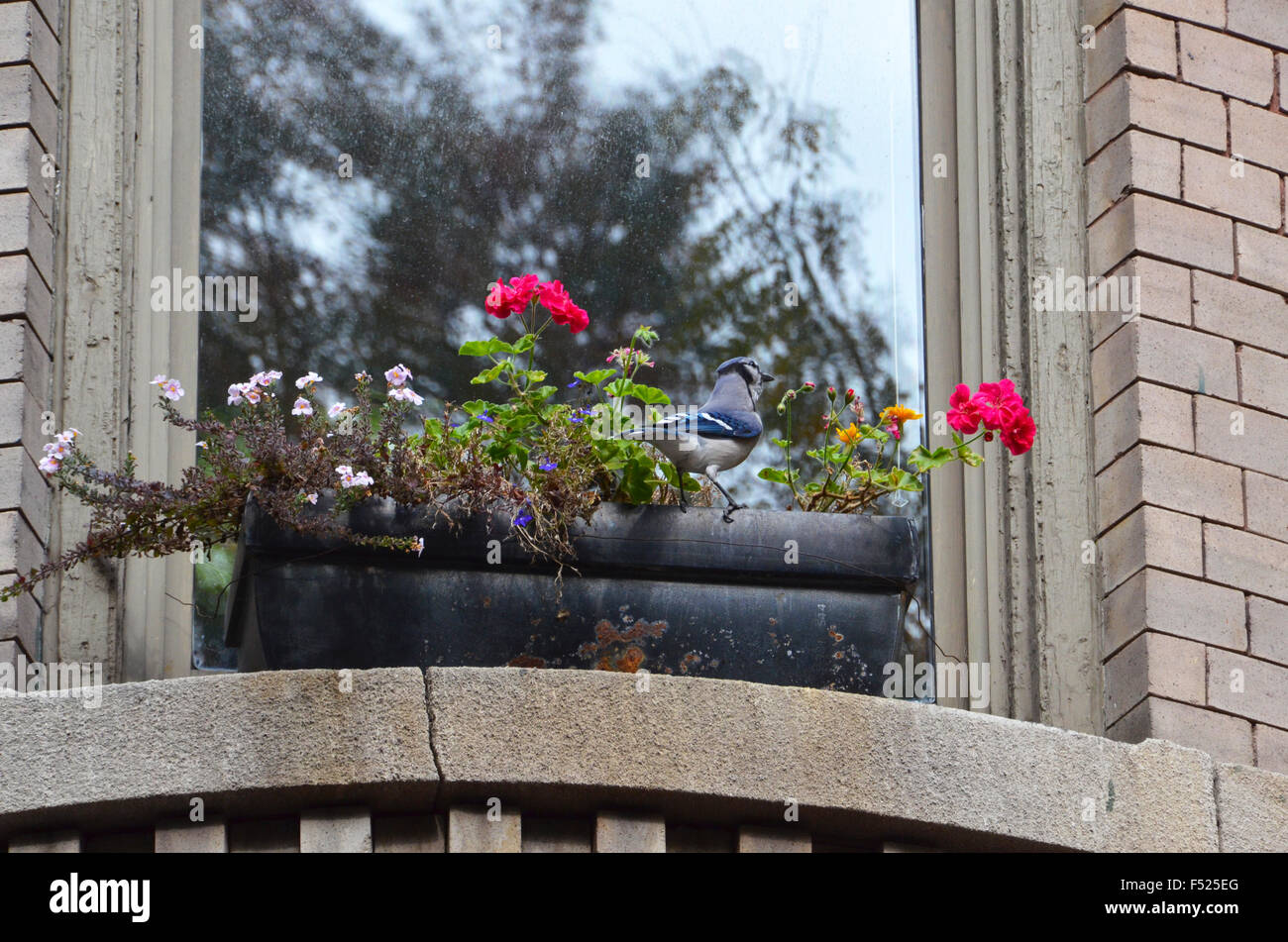 blue jay bird window box brooklyn new york with flowers Stock Photo