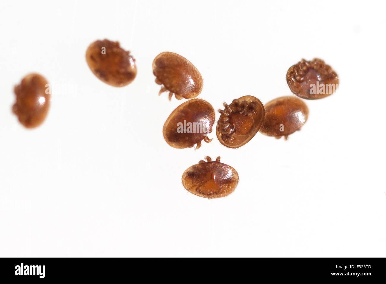 Varroamilbe, Varroa, destructor - Stock Image