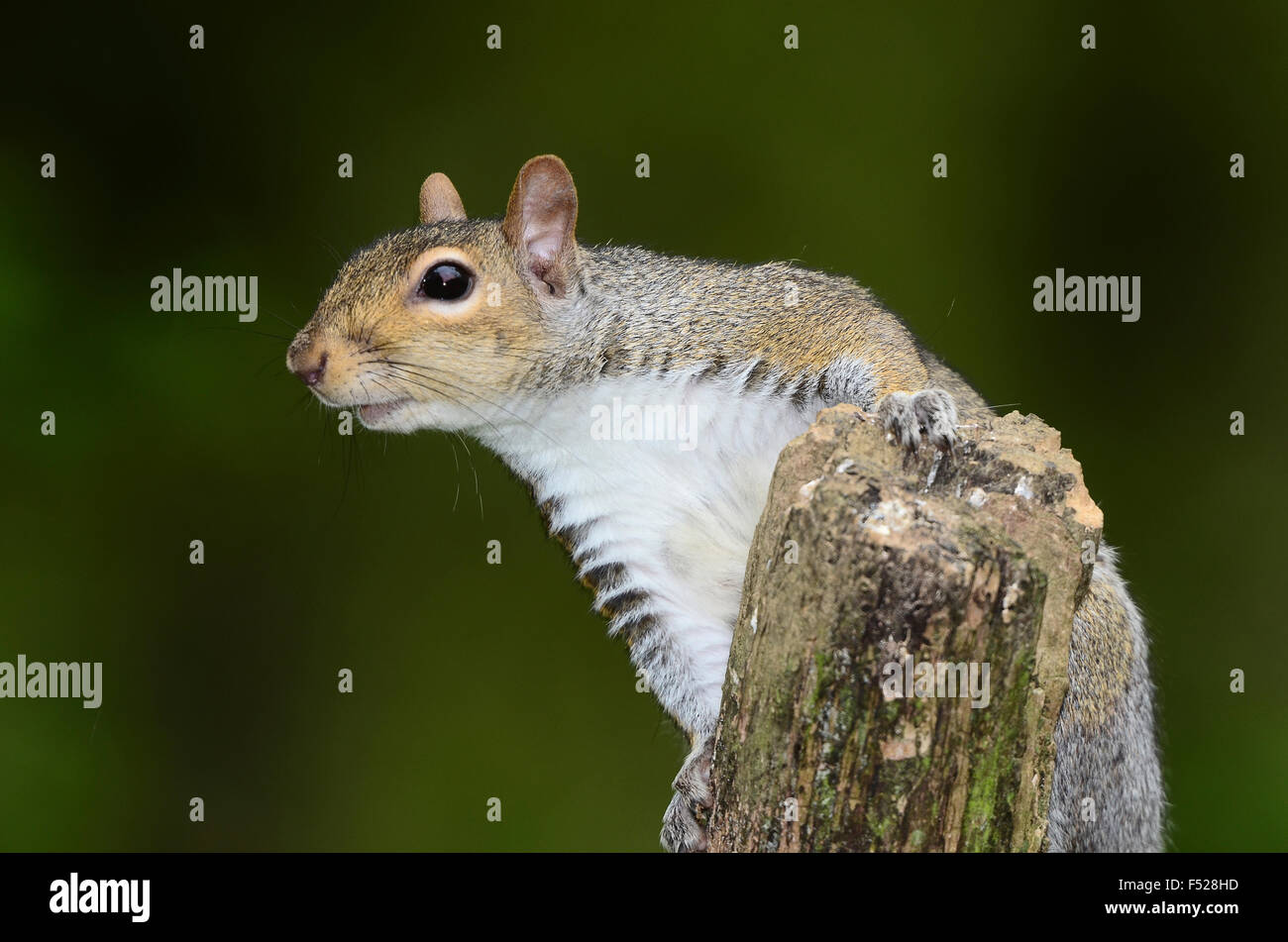 An inquisitive grey squirrel on a tree stump UK - Stock Image