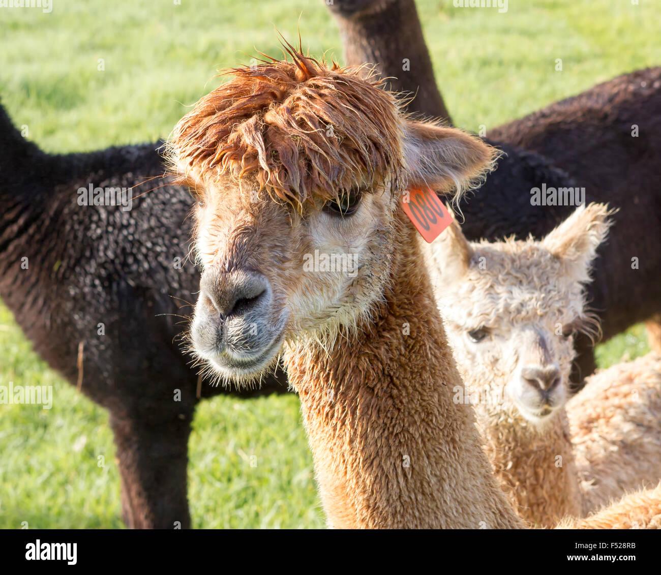 Alpaca On Alpaca farm Located in Australia - Stock Image
