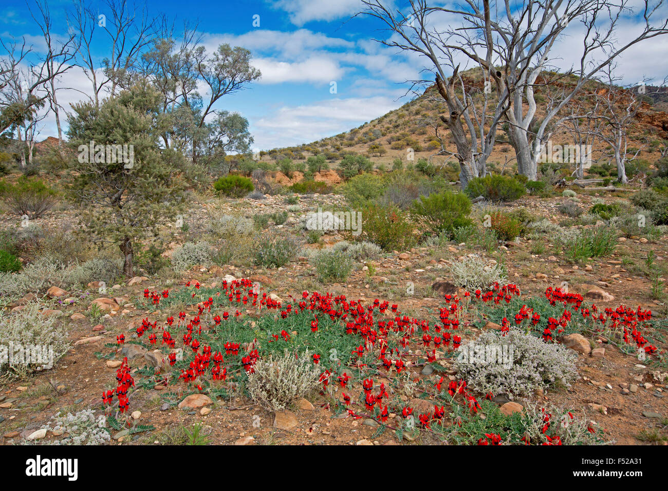 Landscape in outback Australia with carpet of spectacular red flowers of Sturt's desert pea, Swainsona formosa & Stock Photo