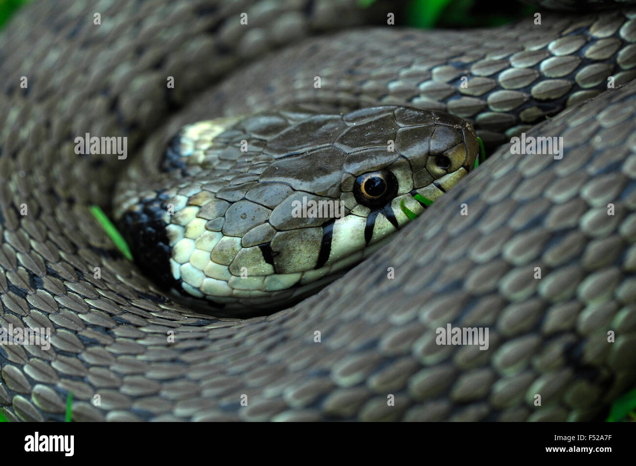Grass snake curled up but wide awake UK - Stock Image