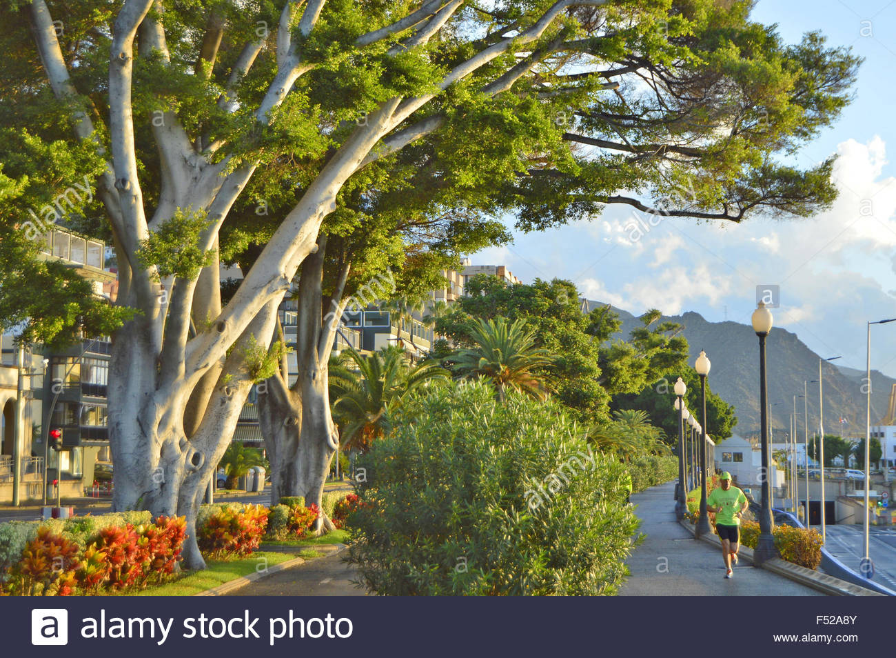 Harbor promenade alley of evergreen trees in Santa Cruz De Tenerife Canary Islands Spain. It enjoys mild climate - Stock Image