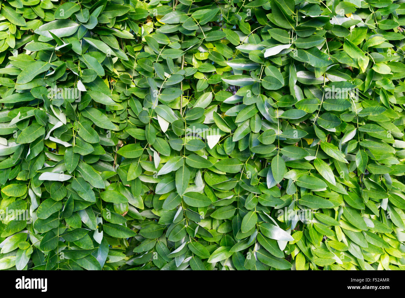 Leaves of weeping Japanese Pagoda Tree, Sophora japonica Pendula. - Stock Image