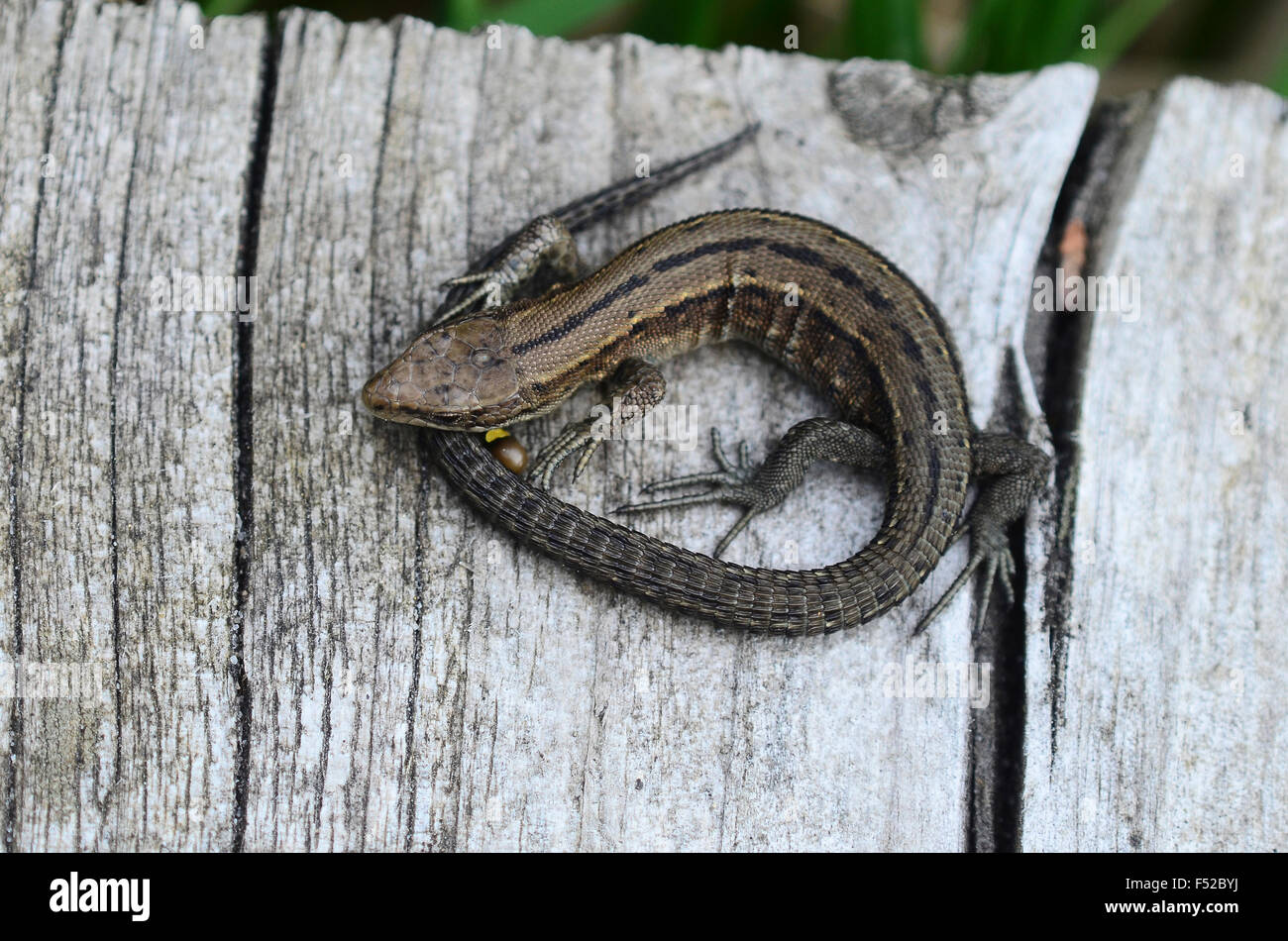Common lizard - Stock Image
