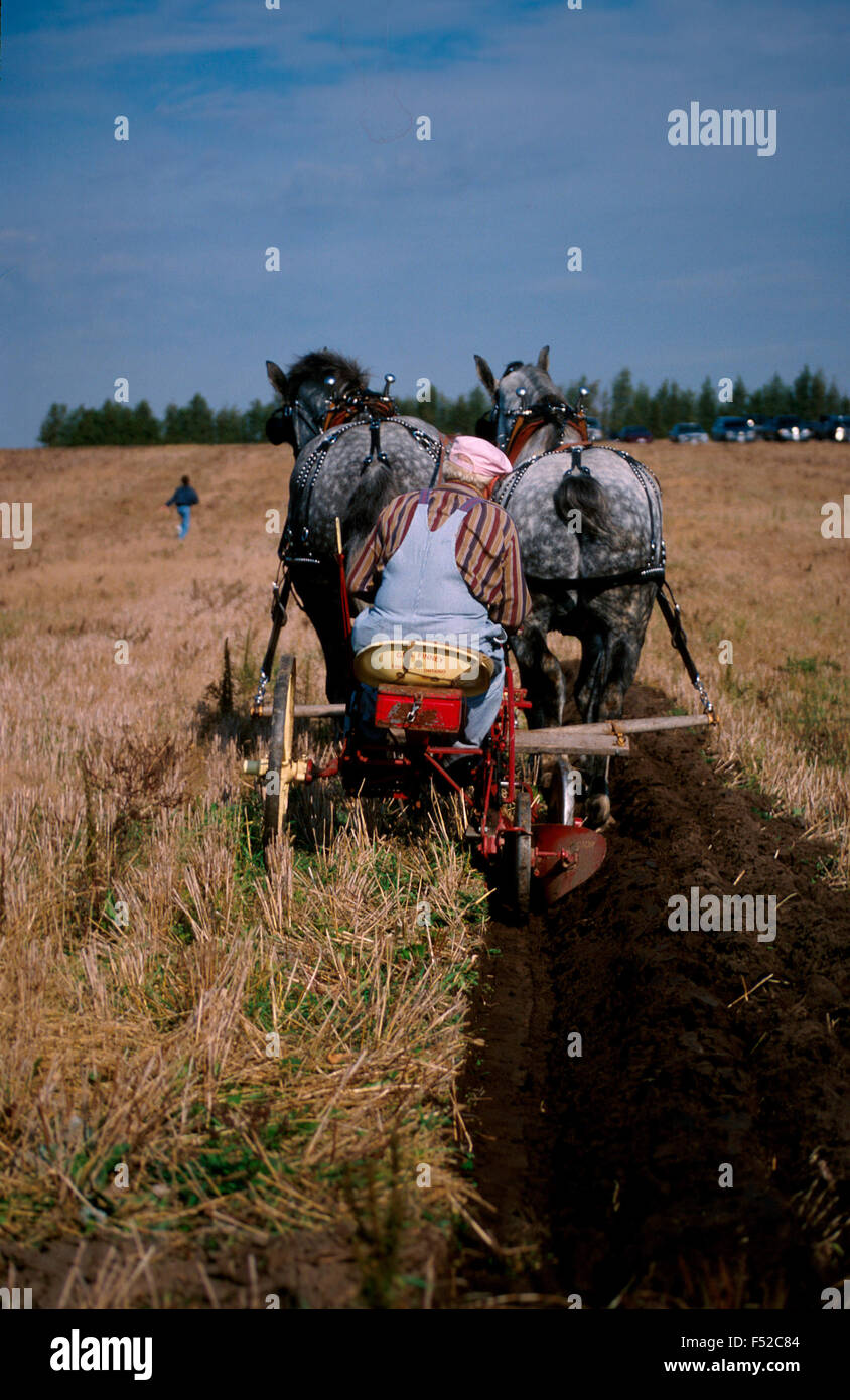 Two grey horses pull a plow at a plowing match Stock Photo