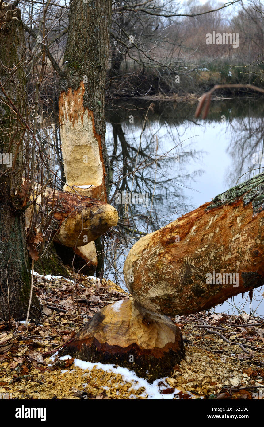 Trees felled by beavers on the river in the spring - Stock Image