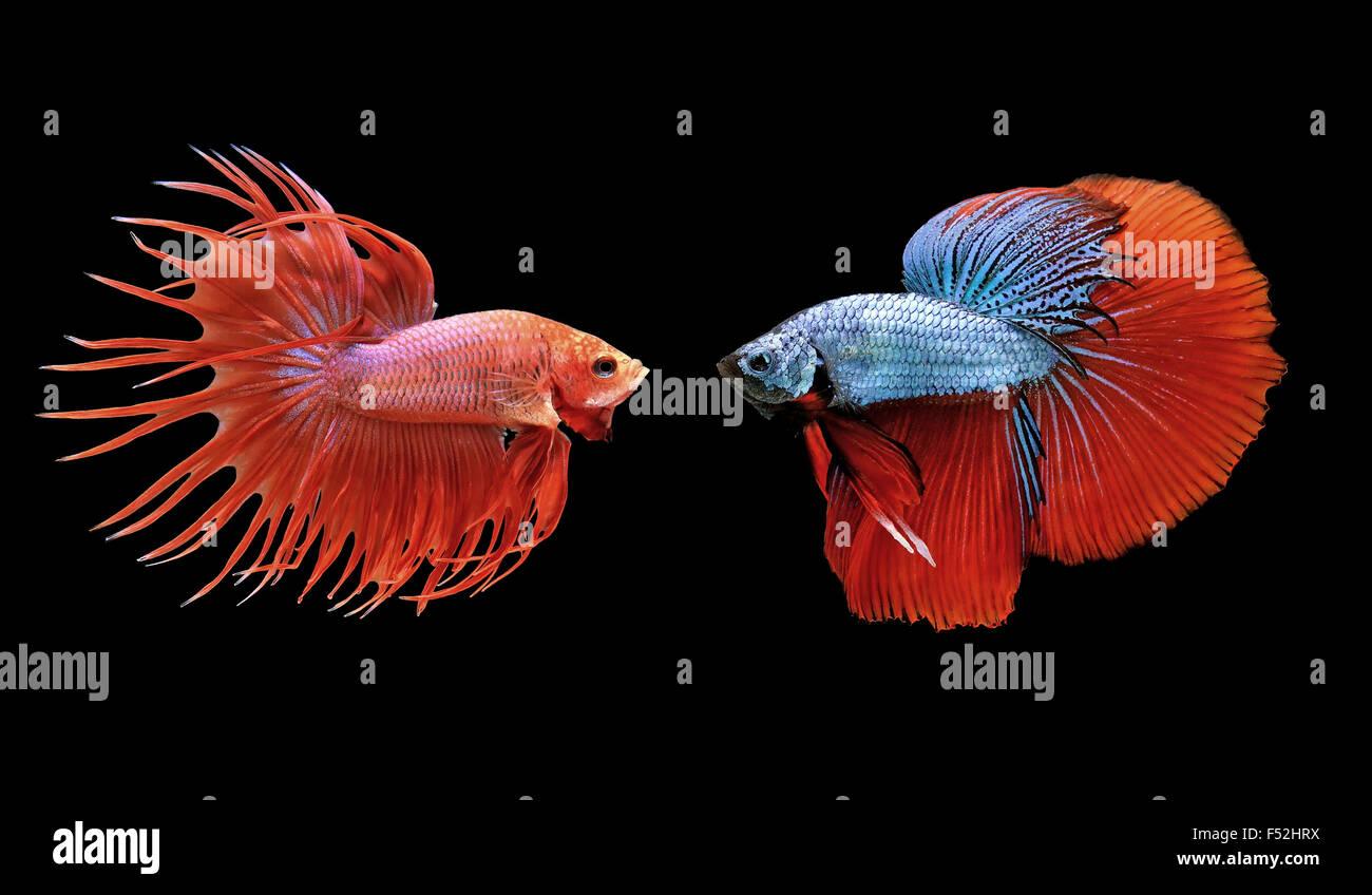 betta fish, siamese fighting fish isolated on black background - Stock Image