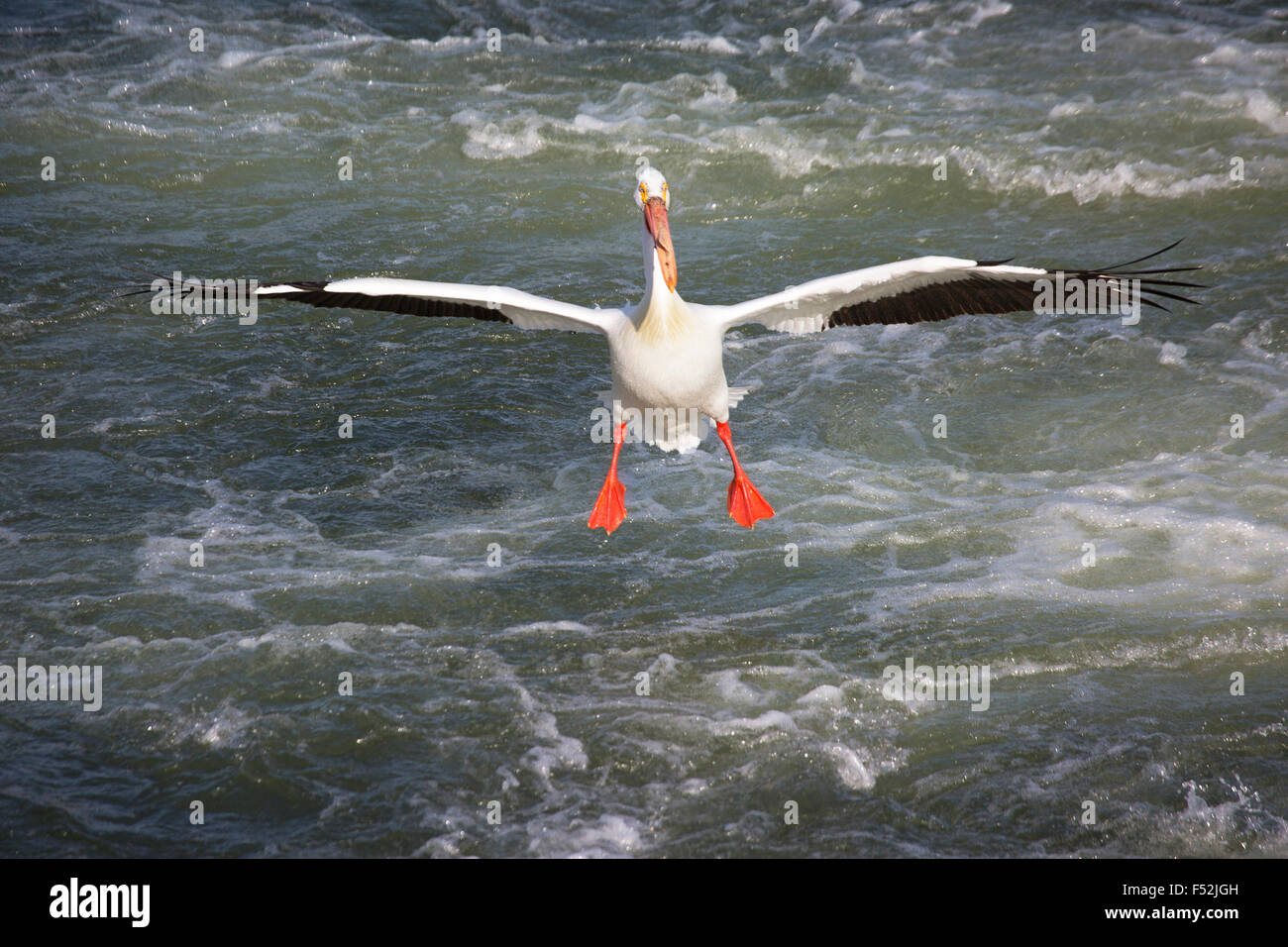 American White Pelican (Pelecanus erythrorhynchos) landing on the Saskatchewan River - Stock Image