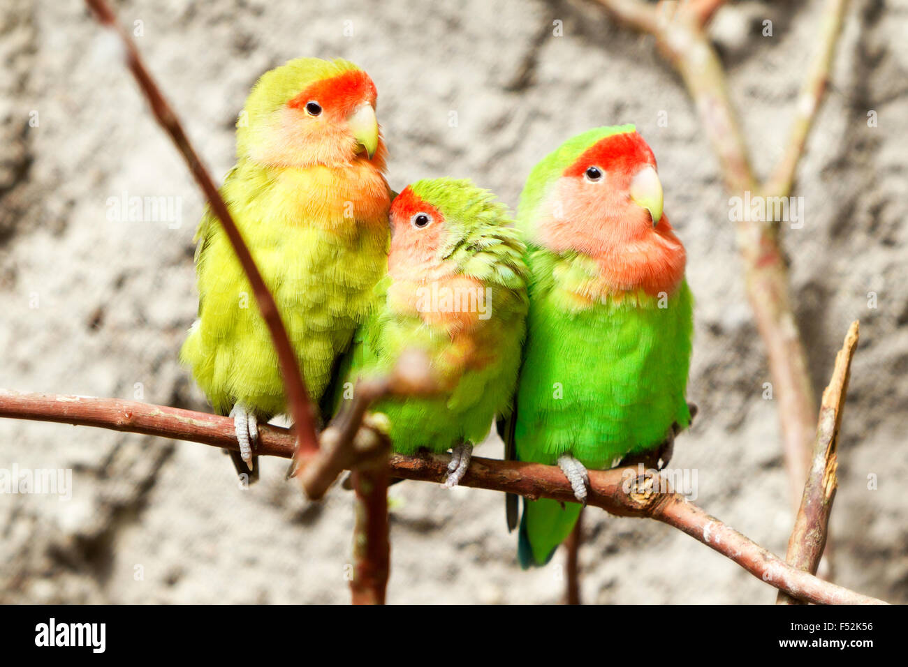 Family Of Loving Bird On A Branch Shot In Nature Environments - Stock Image
