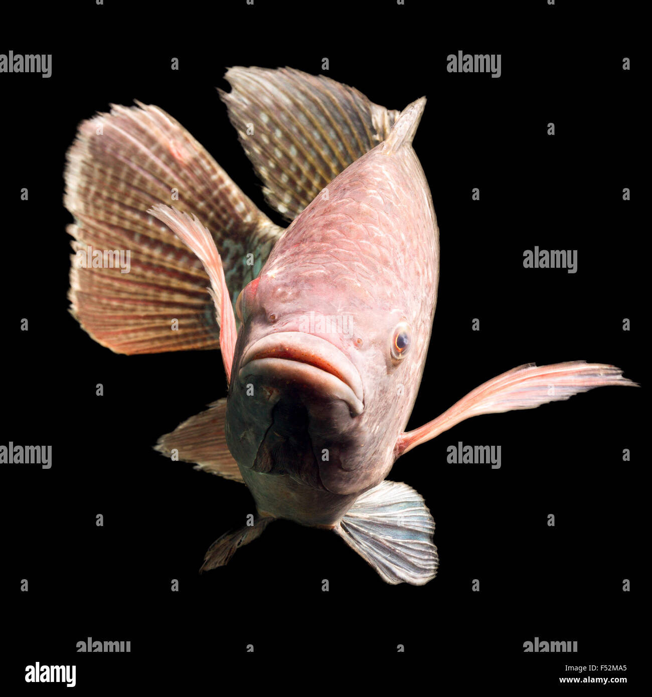 High Quality Shot Of A Large Tilapia Fish About Five Pounds - Stock Image