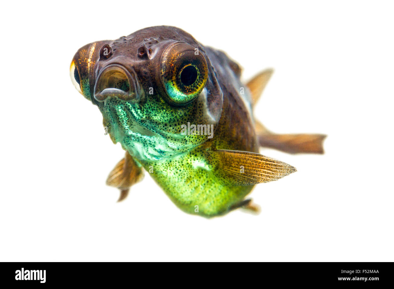 Telescope Goldfish Fry - Stock Image