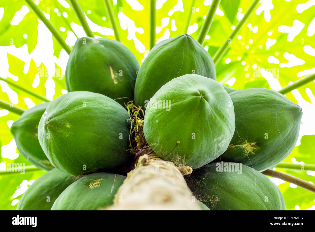 Cluster Of Papaya Fruits In The Tree Shot In Ecuadorian Amazonia