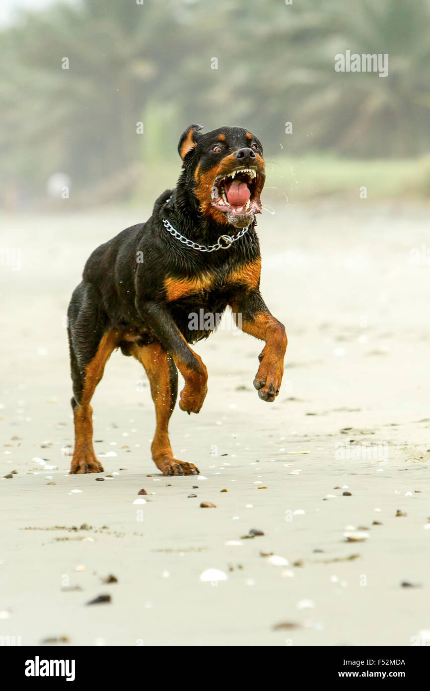 Aggressive Rottweiler Dog The Dog Was Run In Fact This Breed Is Not Aggressive At All - Stock Image