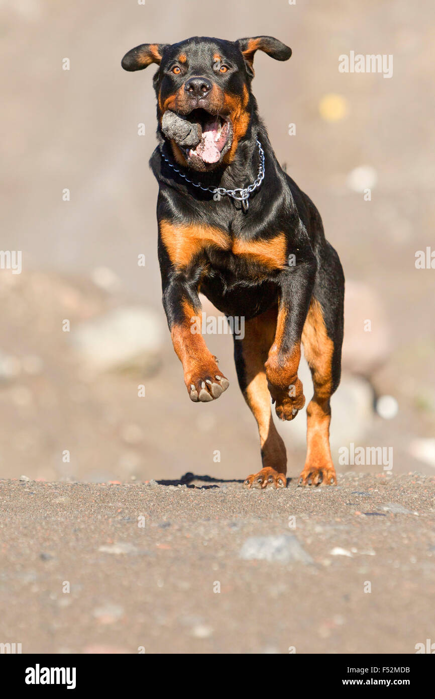 Young Adult Rottweiler 9 Months Old Retrieving A Rock At Full Speed - Stock Image