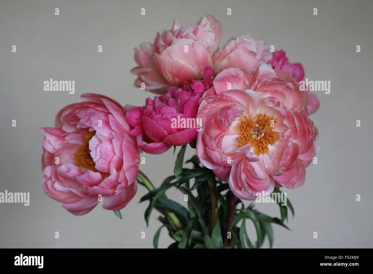 Bouquet of Pink Peonies - Stock Image