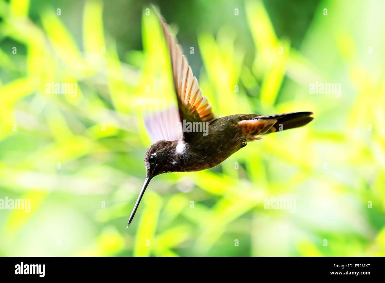 Very Small Hummingbird Collared Inca In Flight Shot In Ecuadorian Rainforest - Stock Image