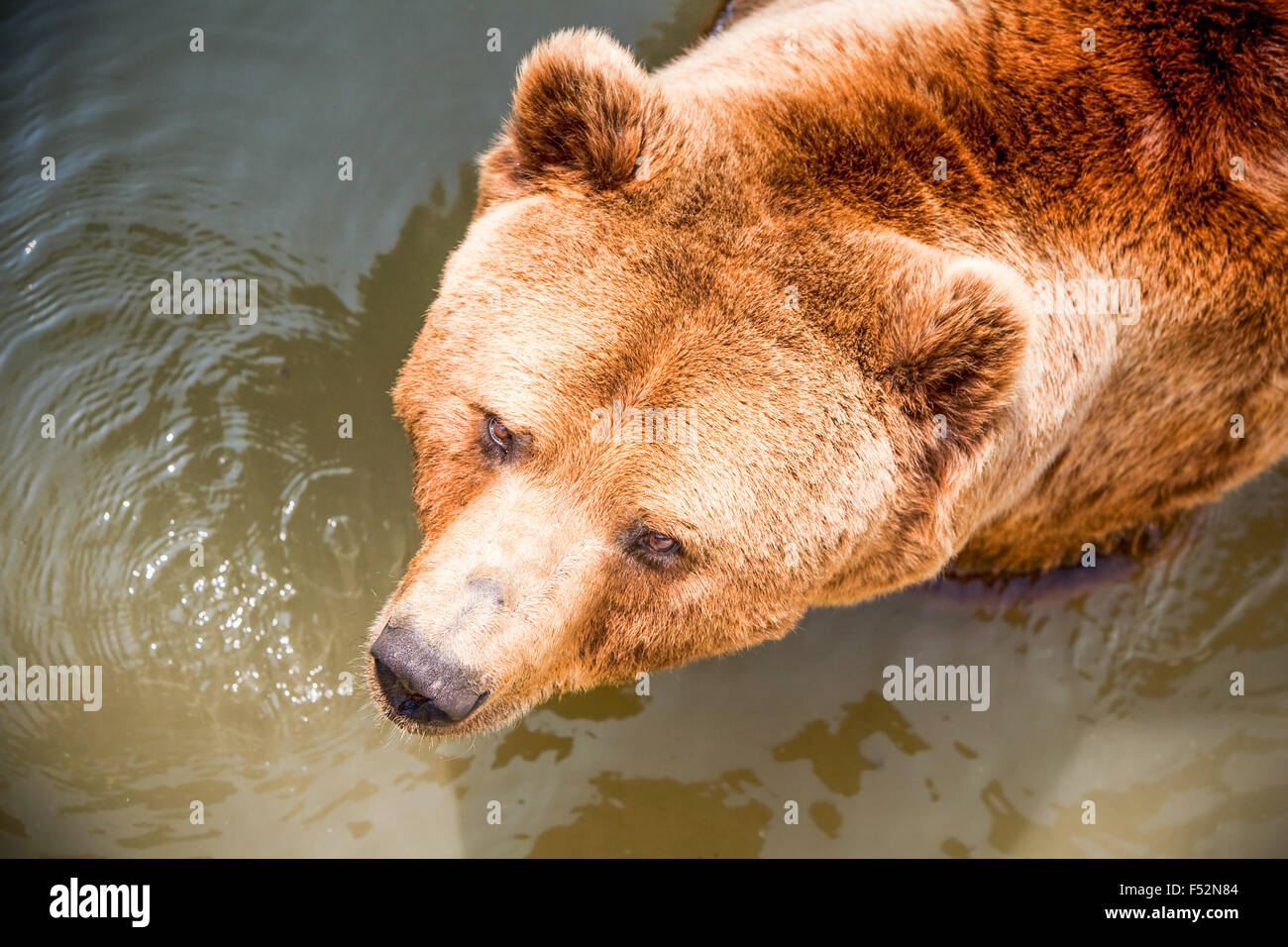 Large Brown Bear Swimming In A Hot Summer Day - Stock Image