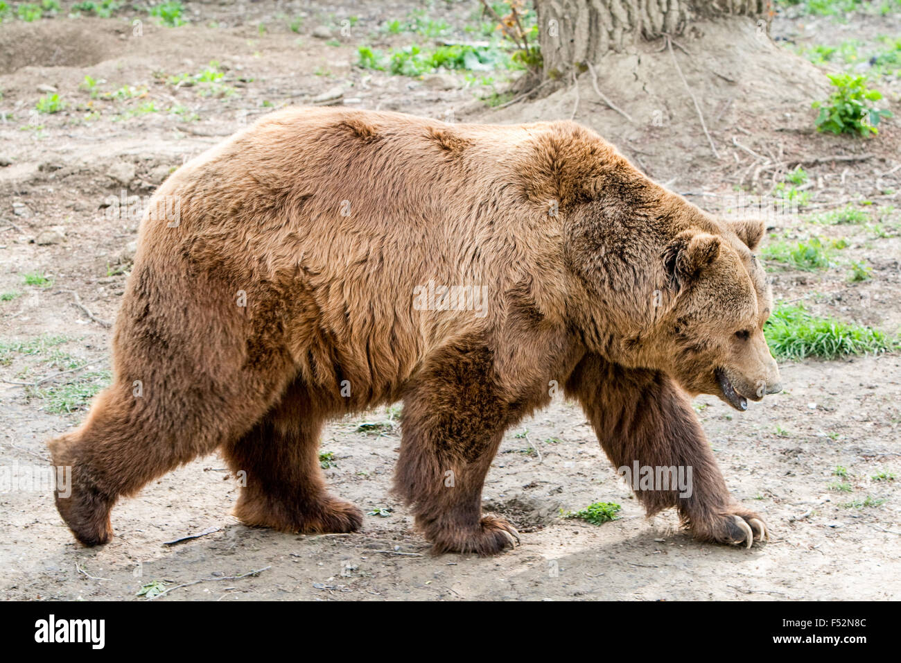 The Brown Bear Is A Large Bear Distributed Across Much Of Northern Eurasia And North America It Weighs 70 To 780 - Stock Image