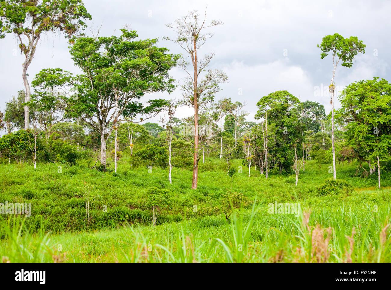 Primary Jungle In Ecuador Close To The City Of Macas - Stock Image