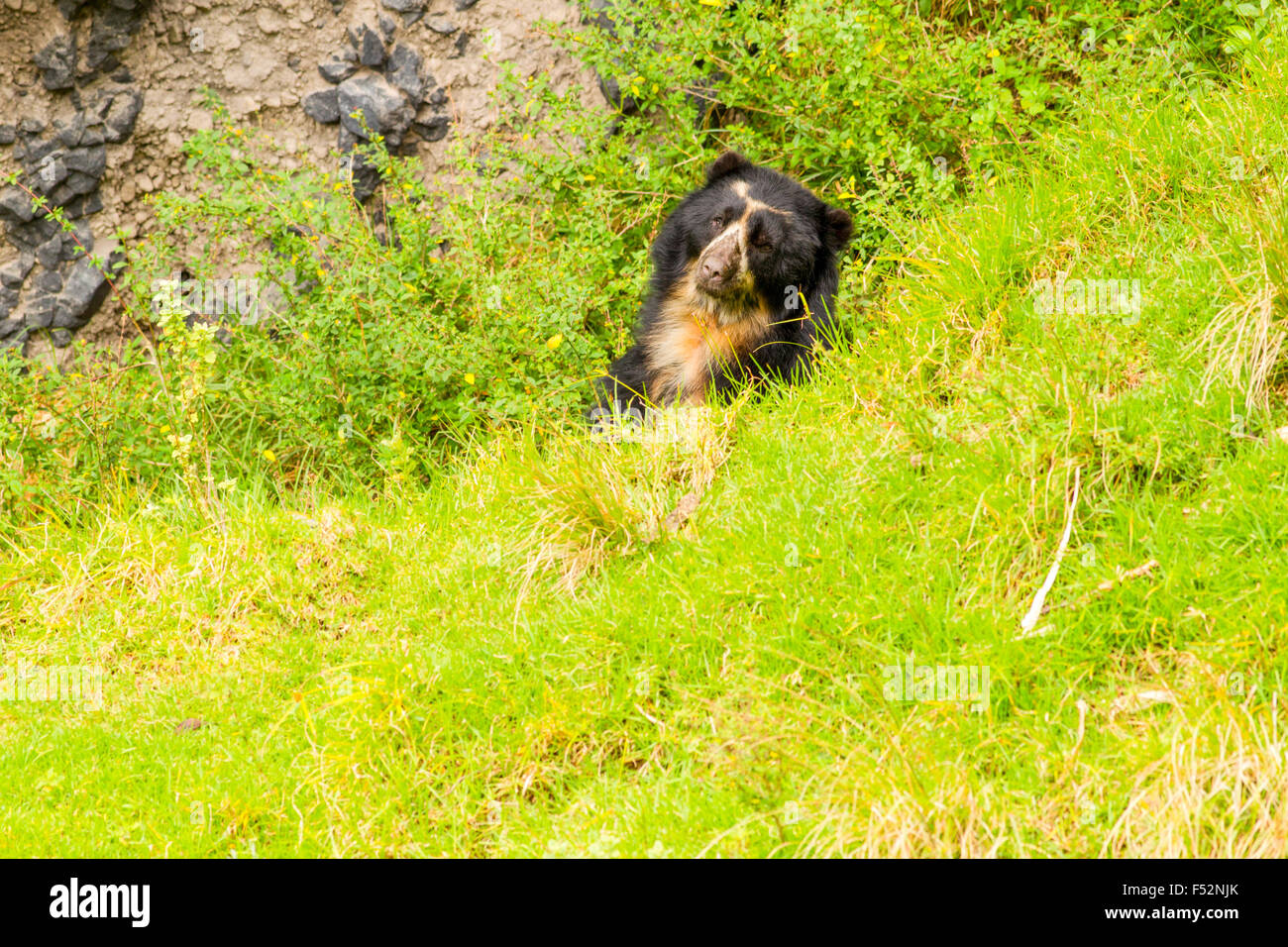 Large Male Andean Bear Shoot In The Wild In Ecuadorian Andes Mountain - Stock Image