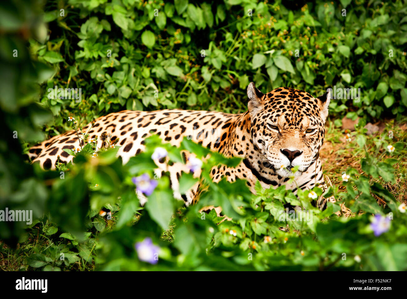 Large Jaguar Male In The Ecuadorian Rainforest With His Ferocious Look Straight To Your Eye Stock Photo
