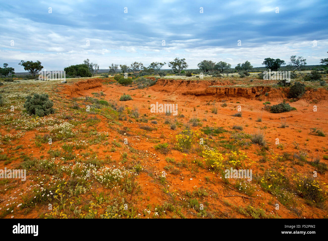 Colourful Australian outback landscape with vast red plains under blue sky carpeted with yellow & white wildflowers - Stock Image