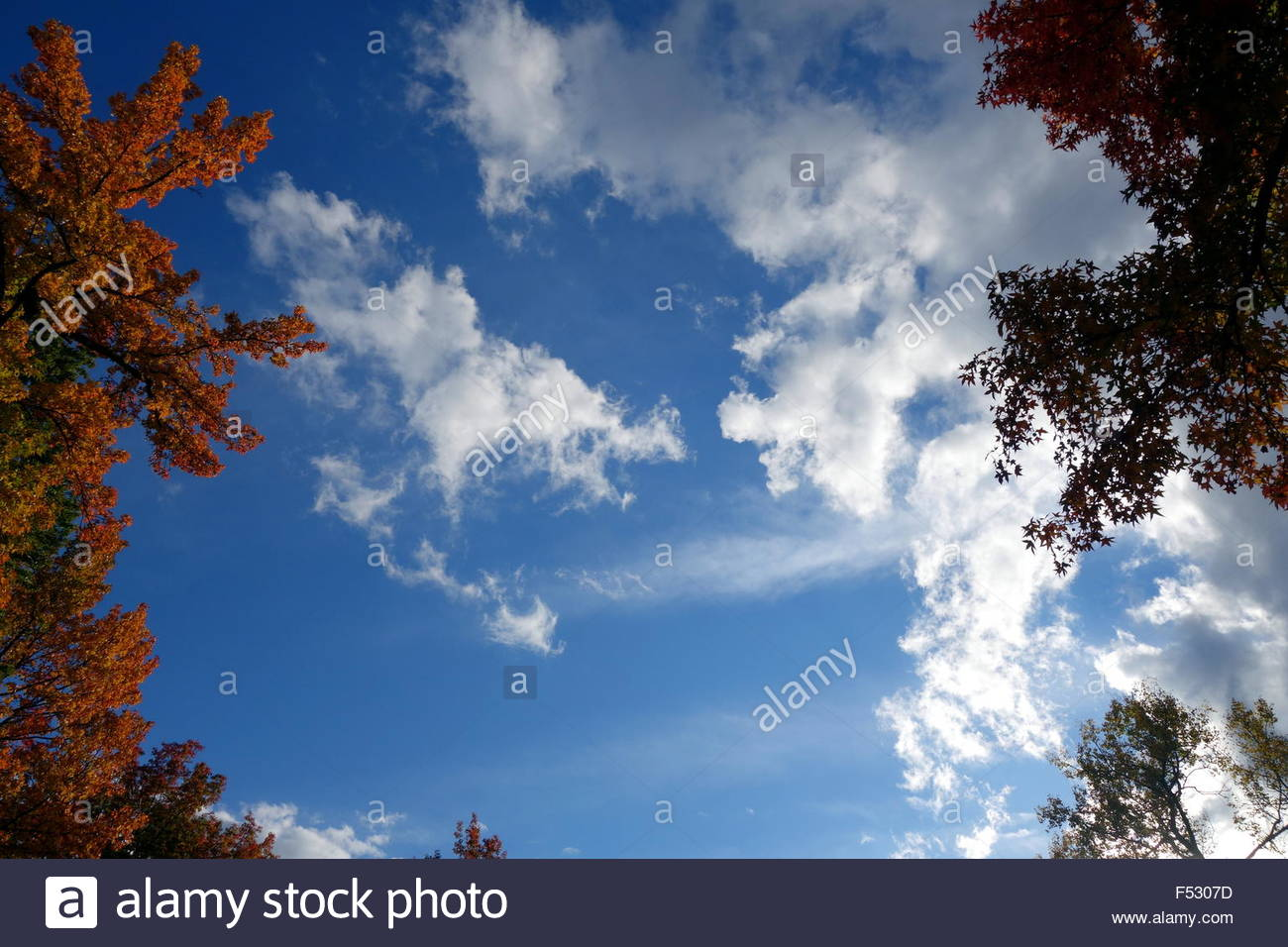 Fall foliage surrounding blue cloudy sky - Stock Image