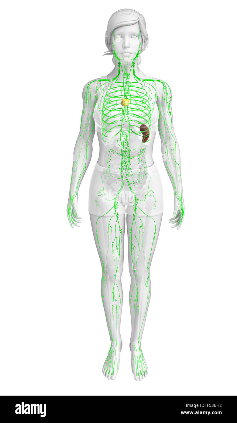 Illustration Of Female Body Lymphatic System Stock Photo 89196158