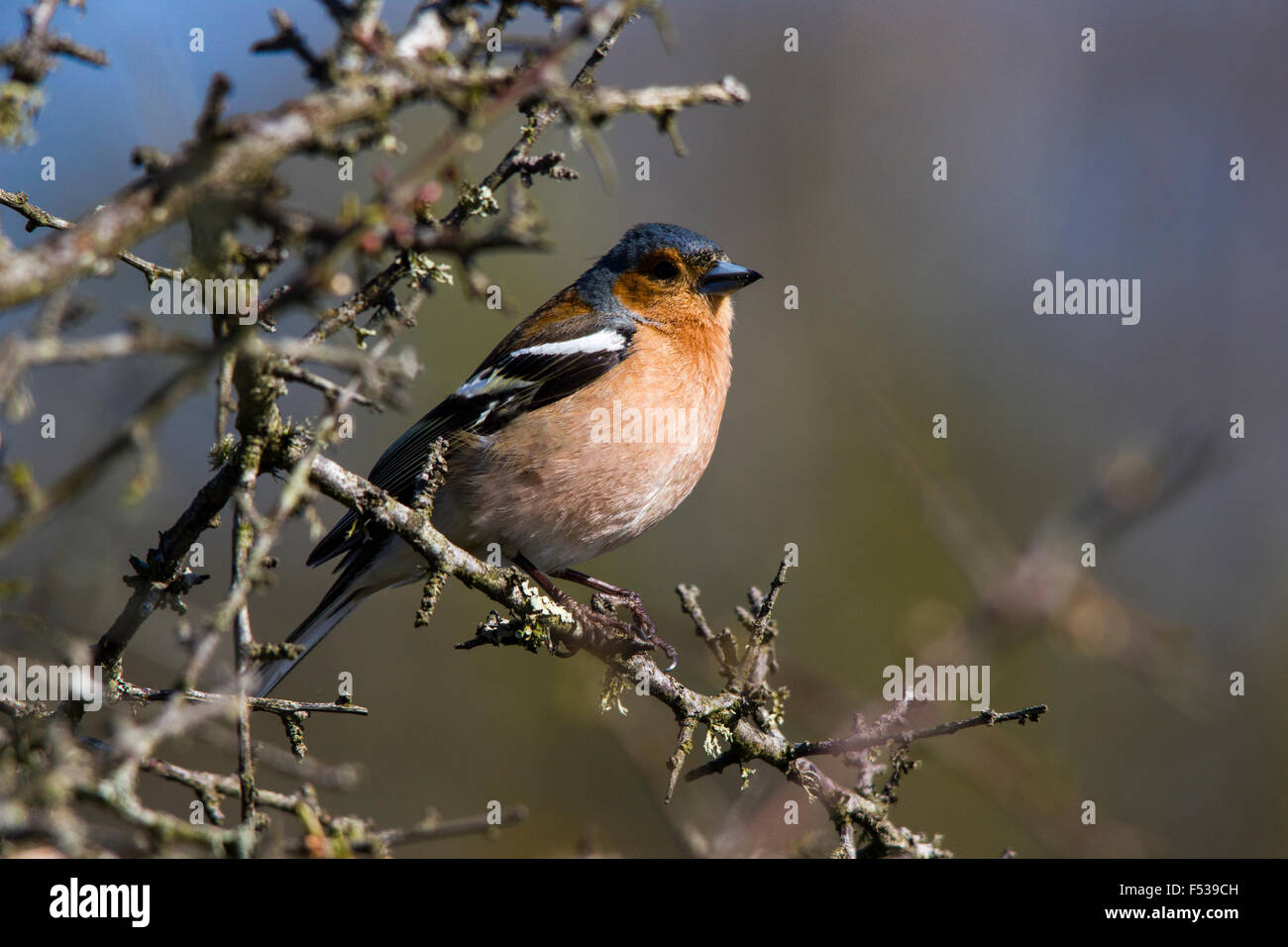 Chaffinch sitting on a branch in the sun - Stock Image
