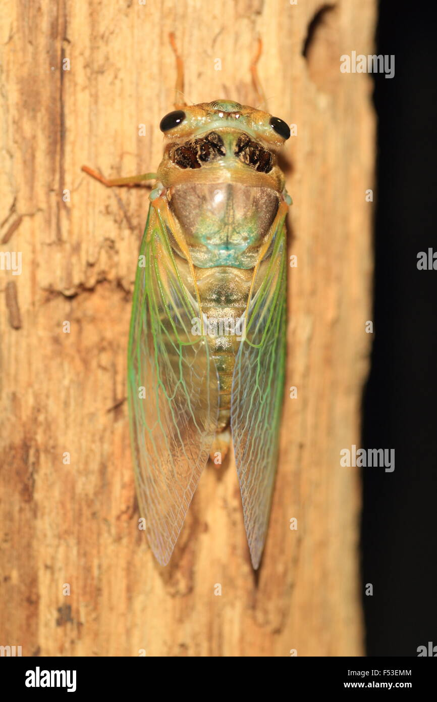 Cicada transformation (Cryptotympana facialis) in Japan - Stock Image