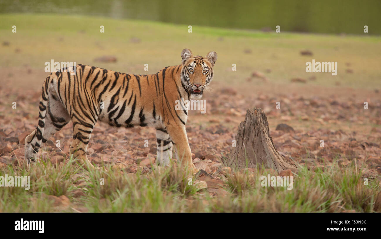 Tiger by lake front looking at you with a dried tree stump adding to the image, this is image is of a Royal Bengal Stock Photo