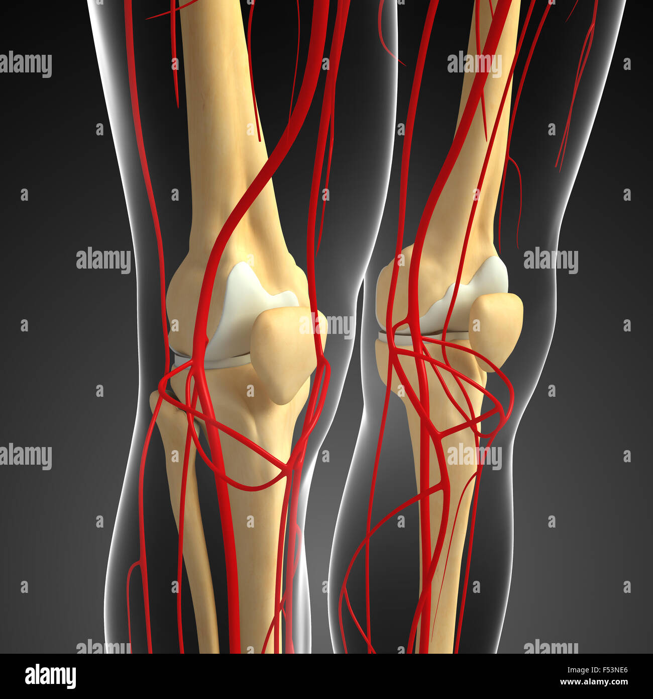 3d rendered illustration of human knee arterial system Stock Photo ...