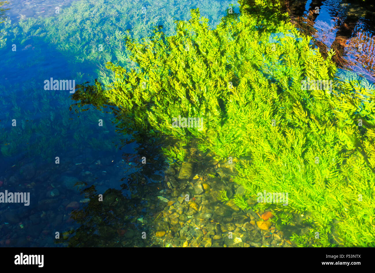 Algae floating in the Sorgue river, L'Isle sur la Sorgue, Vaucluse, Provence Alpes Cote d'Azur region, France - Stock Image