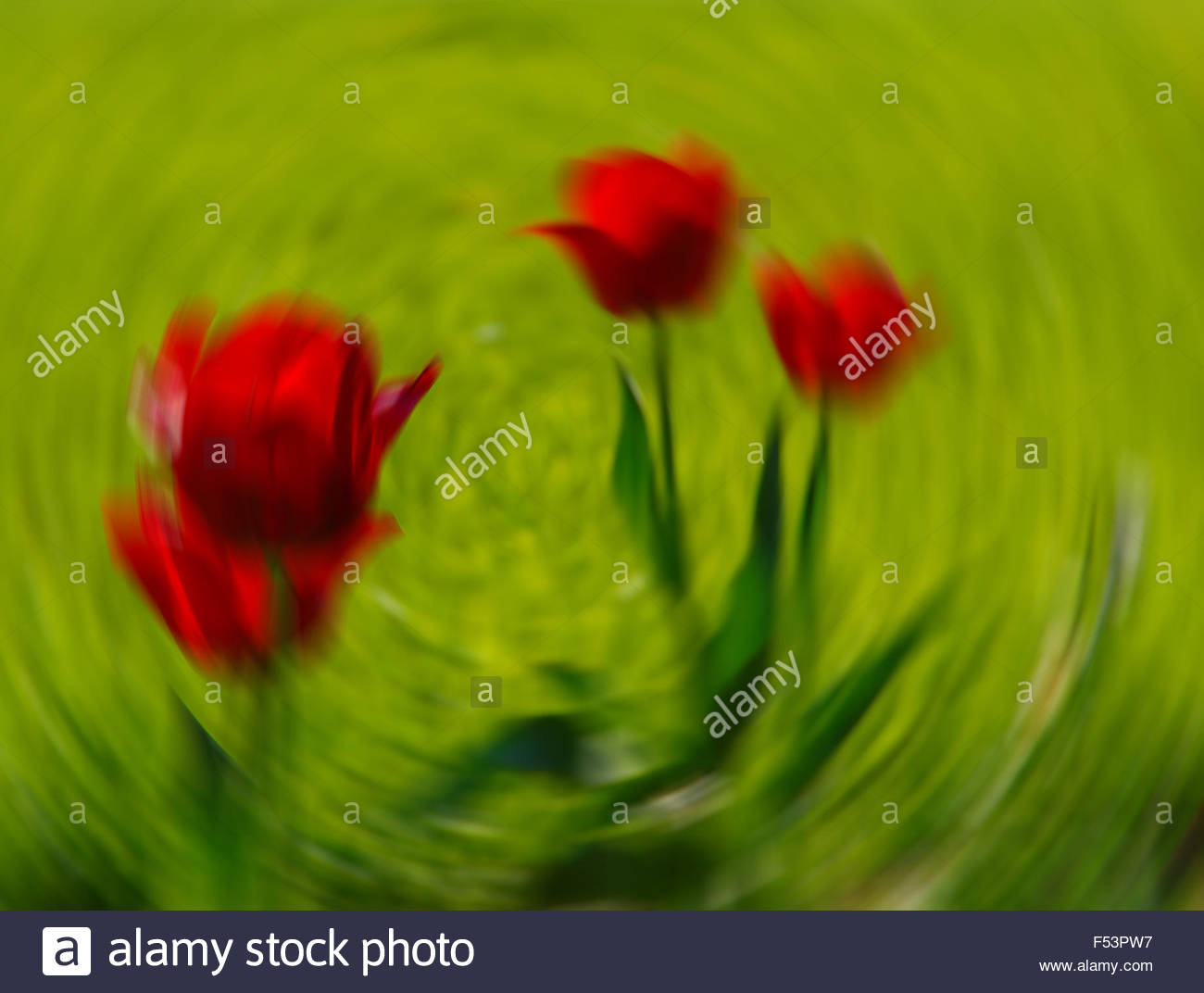 Red tulips in a vortex - Stock Image
