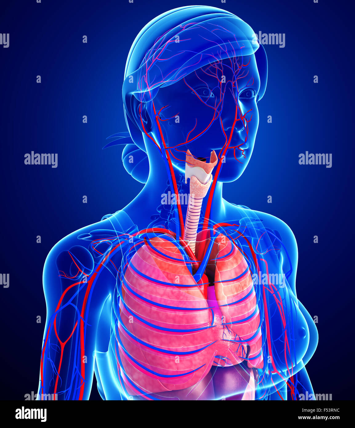Illustration Female Respiratory Circulatory Stock Photos