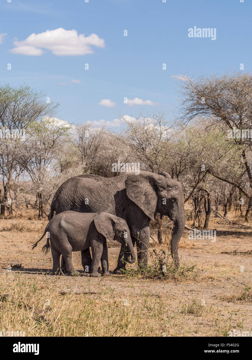 Mother elephant with one tusk, with her baby in Tarangire National Park in Tanzania, Africa. Vertical orientation. - Stock Image