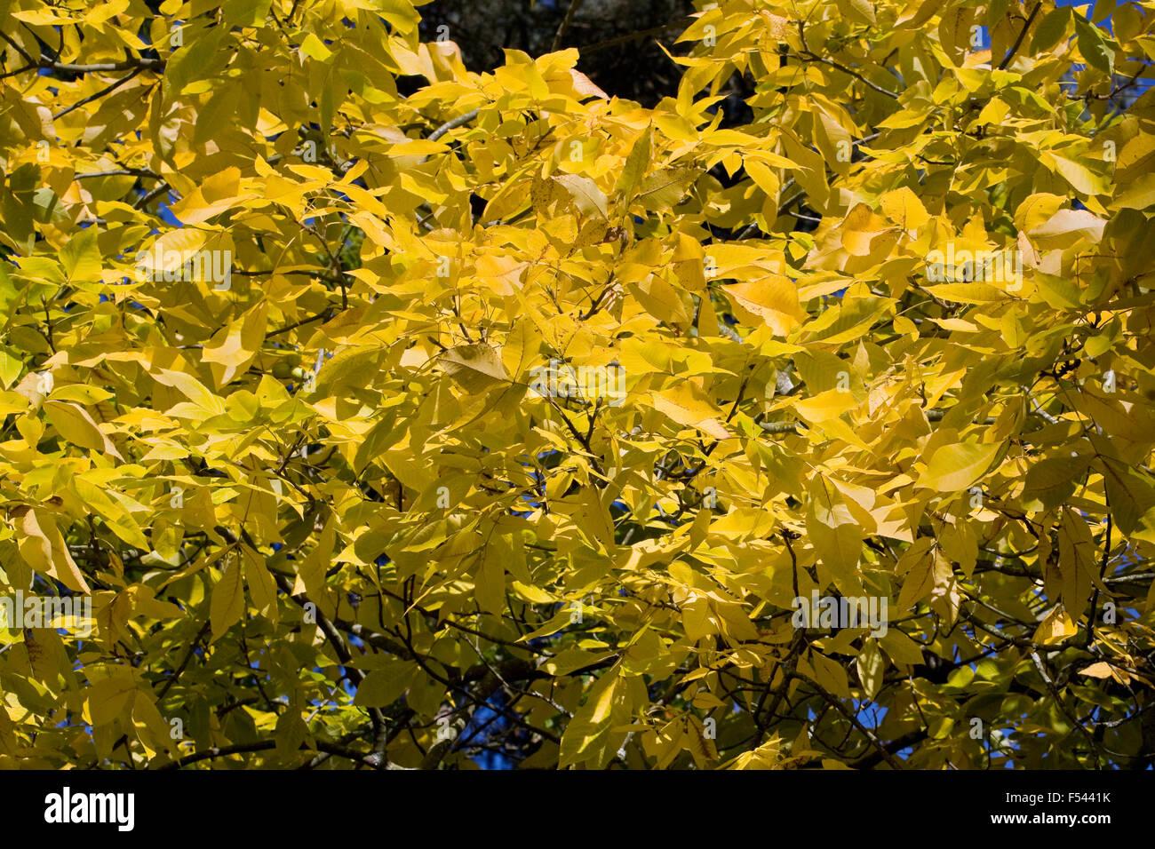Carya ovata. Autumnal leaves of the Hickory tree. - Stock Image