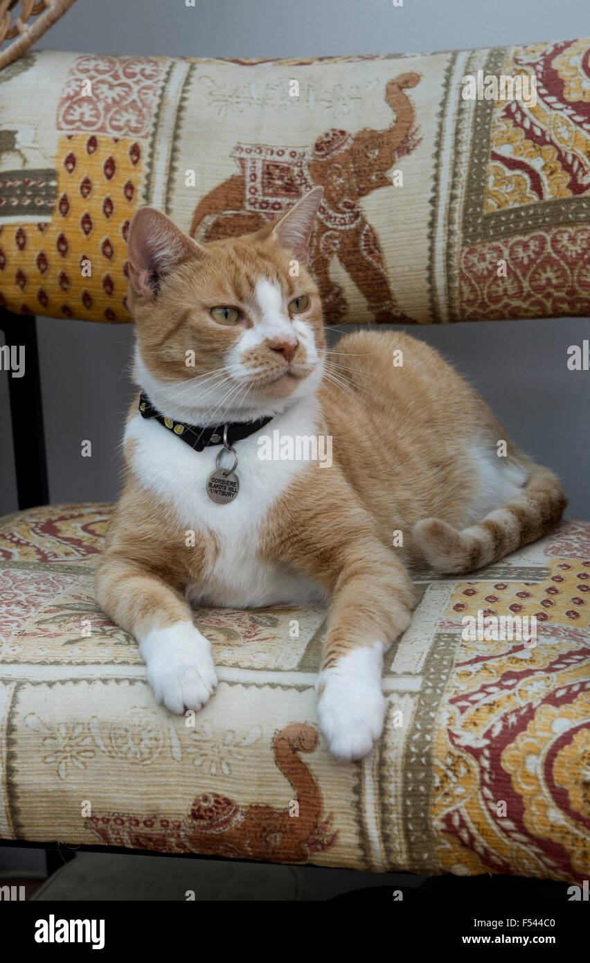 A ginger or marmalade domestic pet cat sitting on a chair and alert - Stock Image