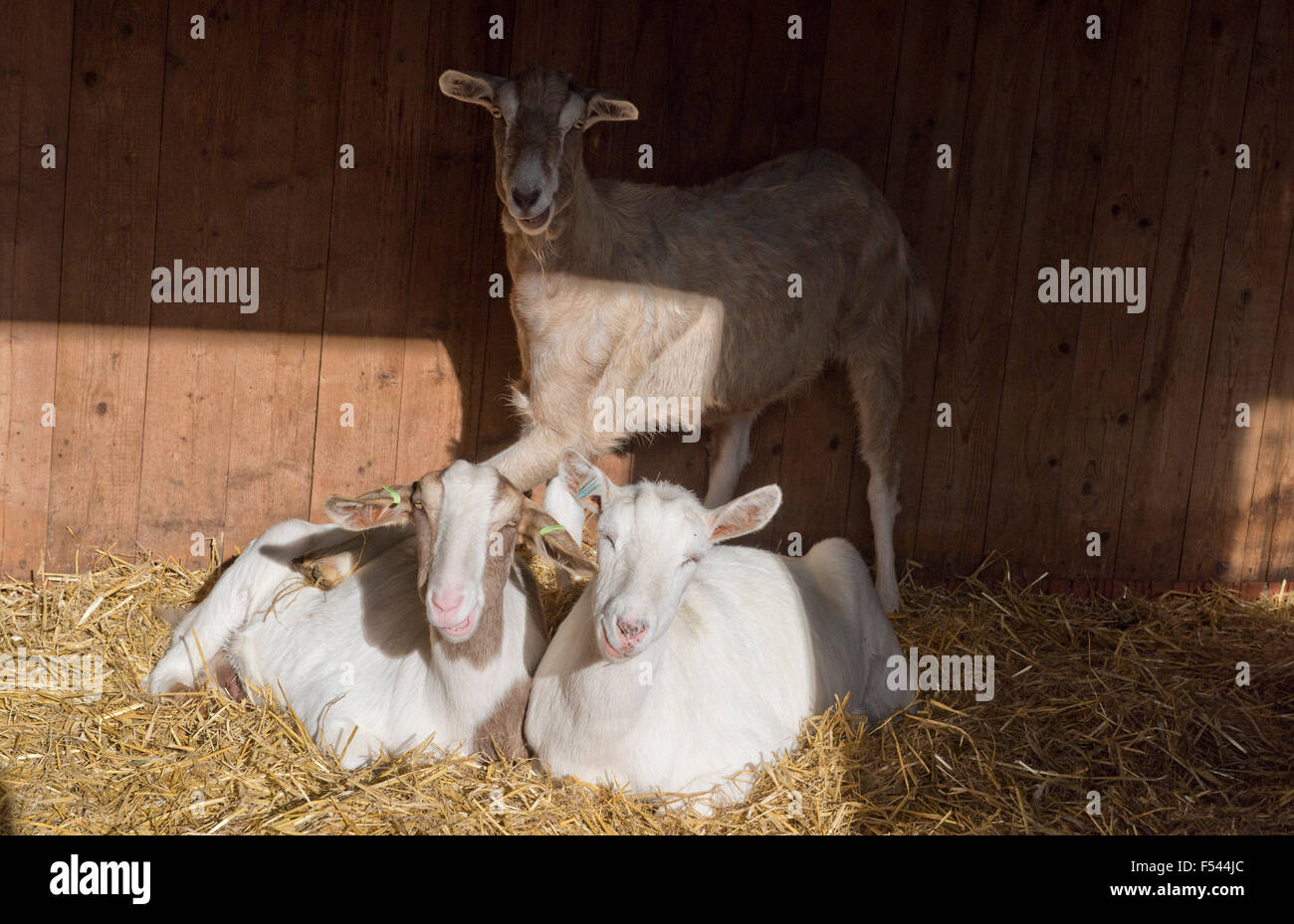 Boer, Saanen cross goats lying down in straw in a stable with a Toggenburg cross standing over them - Stock Image