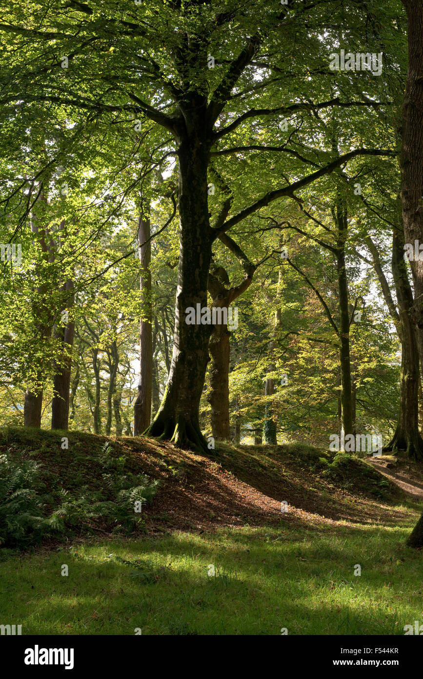 Oak and beech trees in autumn colour in the remains of Blackbury Camp and Iron Age Hillfort built in the 4th century - Stock Image