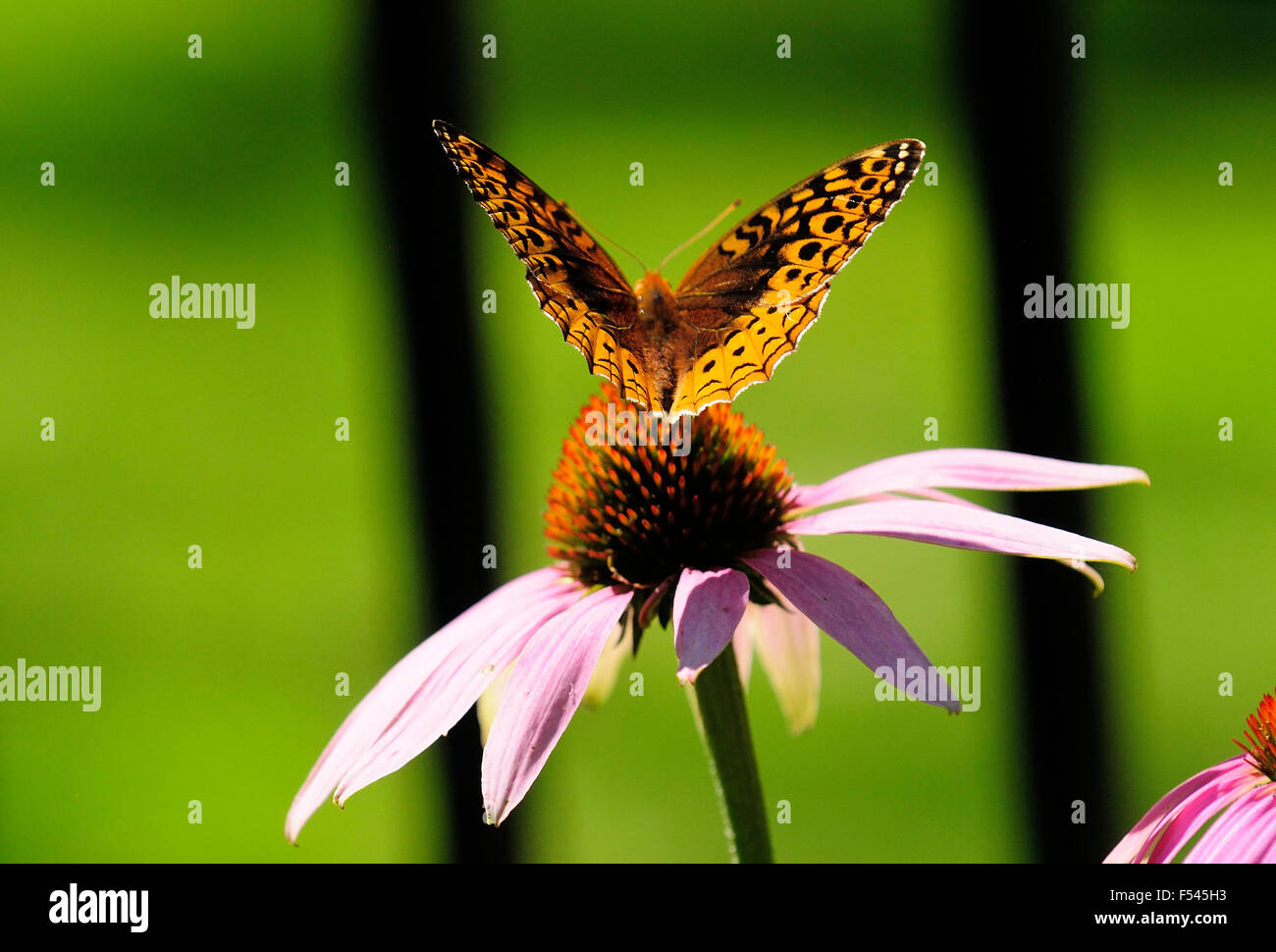 Butterfly on Purple Cone flower. - Stock Image